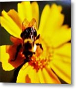 Bumble Bee On Yellow Flower Metal Print