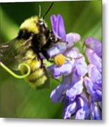 Bumblebee On A Blue Giant Hyssop Metal Print