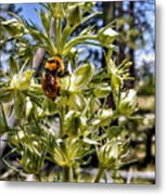 Bumblebee On Elkweed Blossoms Metal Print