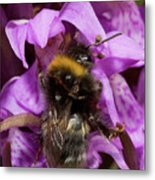 Bumblebee On Orchid Metal Print
