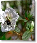 Bumblebee On White Azalea Metal Print