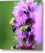 Bumblebees On Liatris Metal Print