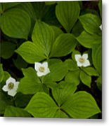 Bunchberry Blossoms Metal Print