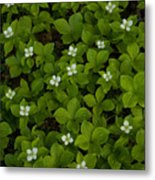 Bunchberry Carpet Metal Print
