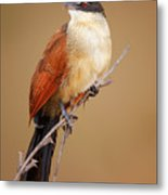 Burchell's Coucal - Rainbird Metal Print