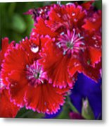 Burgandy Red Dianthus Metal Print