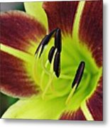 Burgundy And Yellow Lily Metal Print