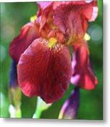 Burgundy Iris Metal Print