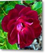 Burgundy Red Rose At Pilgrim Place In Claremont-california  Metal Print