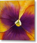Burgundy Yellow Pansy Metal Print
