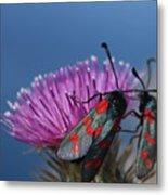 Burnet Moths Metal Print