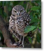 Burrowing Owl Color Version Metal Print