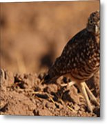 Burrowing Owl Looking Back Over Shoulder Metal Print