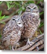 Burrowing Owl Pair  Metal Print
