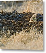 Burrowing Owl Peaking Outta The Hole  Metal Print