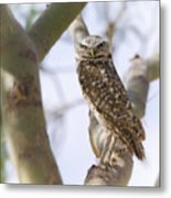 Burrowing Owl Perched On A Branch  Metal Print