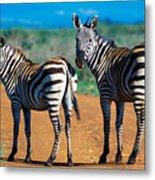 Bushnell's Zebras Metal Print