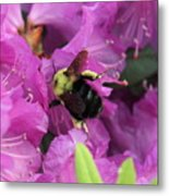 Busy Bee Collecting Pollen On Rhododendron  Metal Print