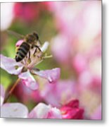 Busy Bee On A Crabapple Tree Metal Print