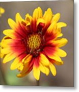 Butter Yellow And Crimson Red Coneflower Metal Print
