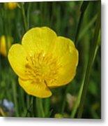 Buttercup Flower Metal Print