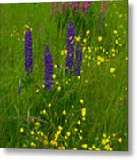 Buttercups And Lupines Metal Print