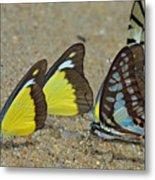 Butterflies Puddling Metal Print
