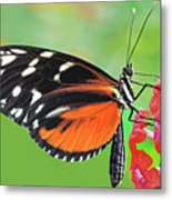 Butterfly  Golden Helicon Metal Print