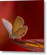 Butterfly In Red Metal Print