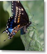 Butterfly Laying Eggs Metal Print