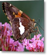Butterfly-licking Metal Print