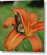 Butterfly On A Blooming Orange Daylily Flower Blossom Metal Print