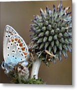 butterfly on a Echinops adenocaulon Metal Print