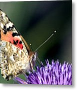 butterfly on a Silybum marianum I Metal Print