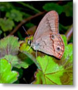 Butterfly On Geranium Leaf Metal Print