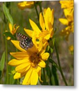Butterfly On Mule's Ear Metal Print