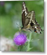 Butterfly On Thistle Flower Metal Print