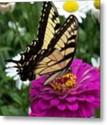 Butterfly On Zennia Metal Print