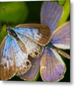 Butterfly Pair Metal Print