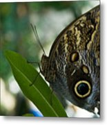 Butterfly Sitting Metal Print