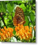 Butterfly Weed Fritillary Metal Print