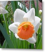 Button Daffodil Metal Print