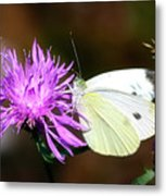 Cabbage Butterflies On Spotted Knapweed Metal Print