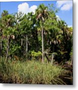 Cabbage Palms Along The Cotee River Metal Print