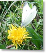 Cabbage White Butterfly  Metal Print
