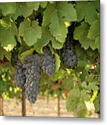 Cabernet Grapes One Metal Print