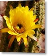 Cactus Bloom Yellow 050914a Metal Print