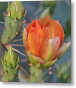 Cactus Flower And Buds Metal Print