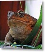 Cain Toad Metal Print