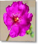 Calandrinia Flower Metal Print